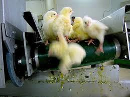 chick maceration1